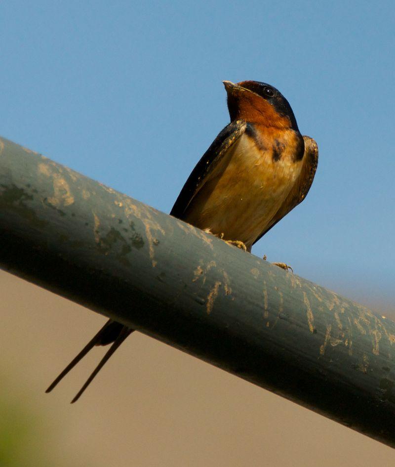 Barn swallow closer 1