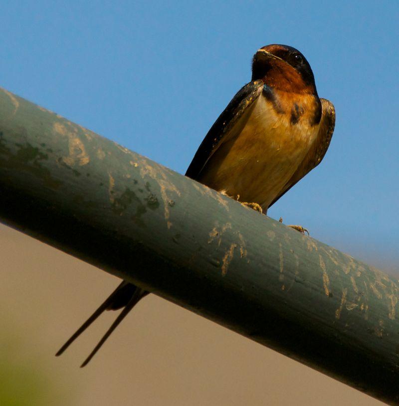 Barn swallow closer 3