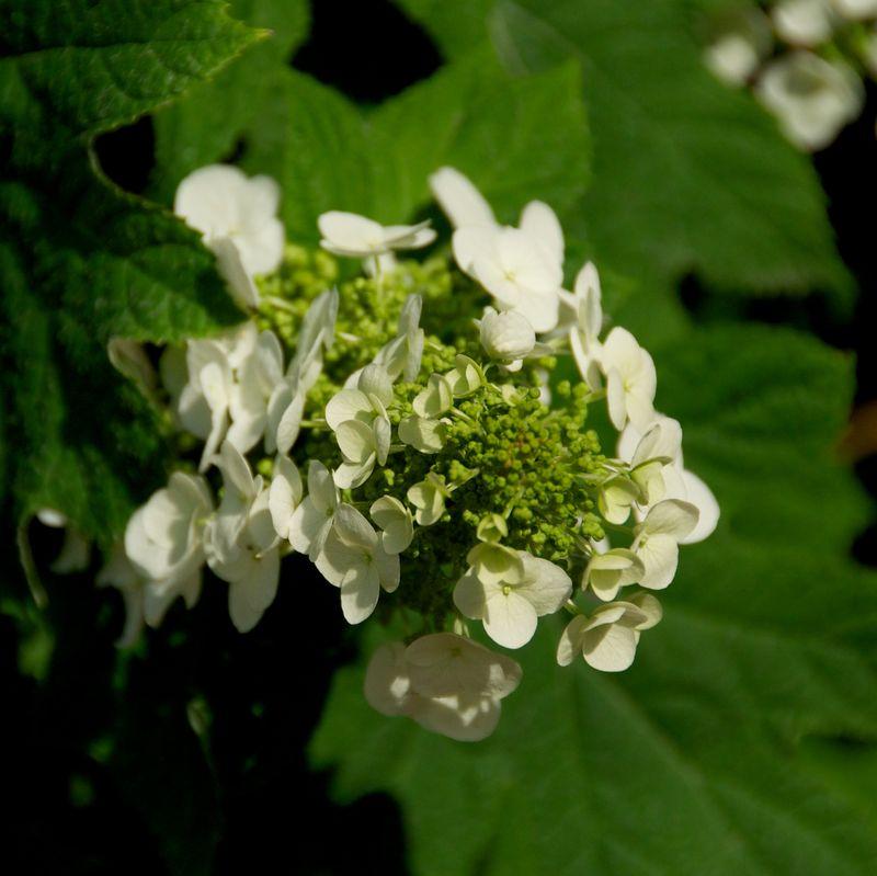 Virginia white flower oakwood 2