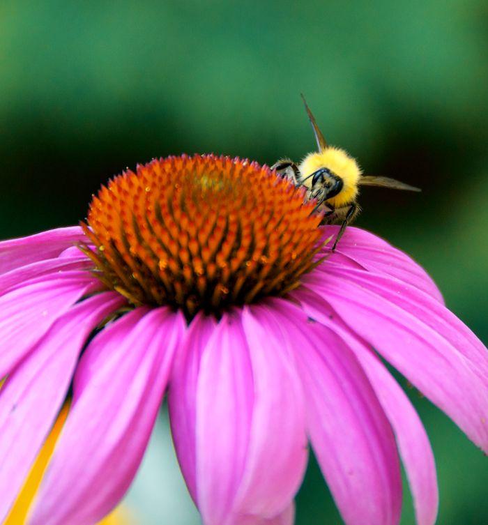 Bee flower 1