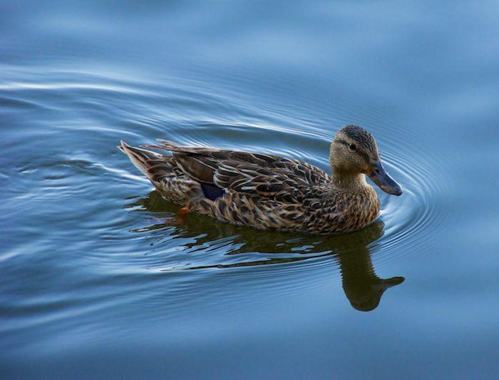 Washington dc mallard duck 1