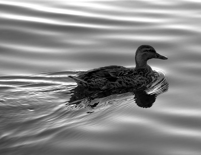 Washington dc mallard black and white