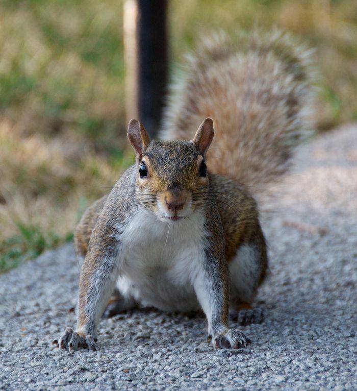 Washington dc squirrel 6