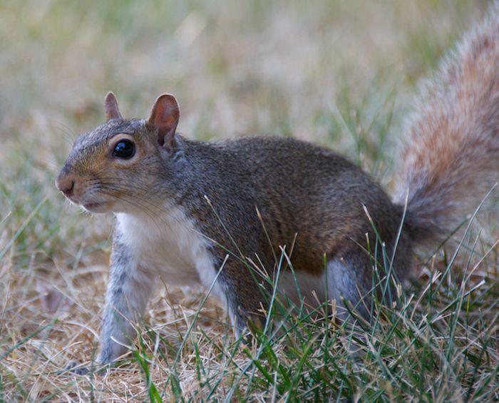 Washington dc squirrel 8