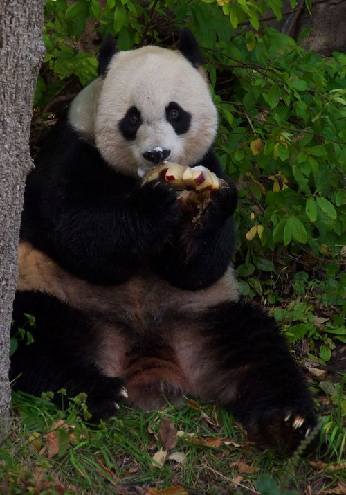 Panda washington dc zoo