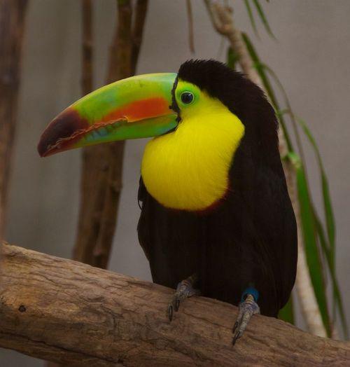Toucan washington dc zoo