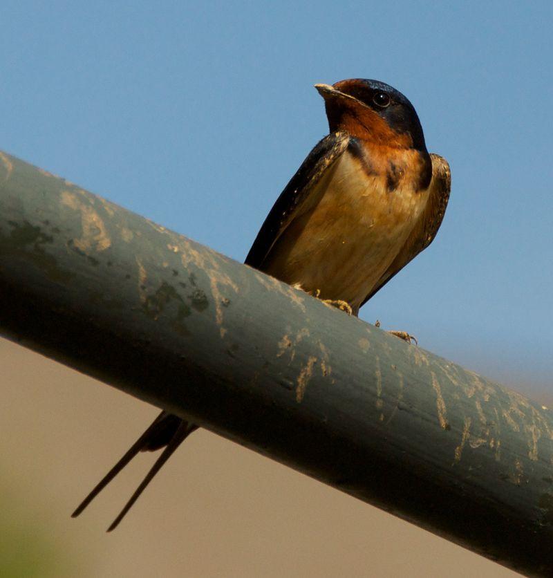 Barn swallow closer 2