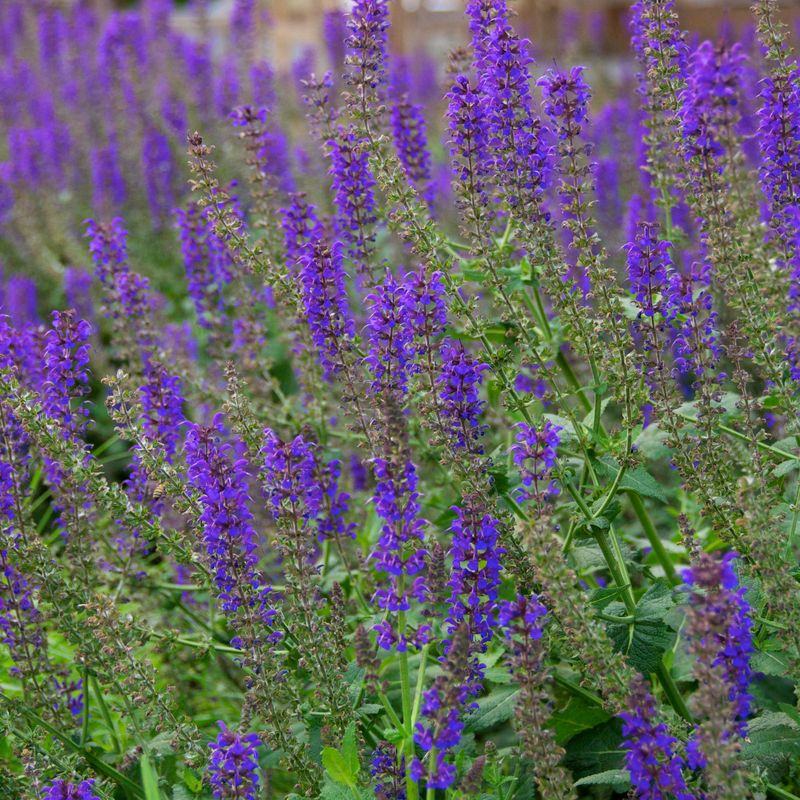 Tall purple flowers name images flower decoration ideas tall purple flowers name choice image flower decoration ideas tall purple flowers name images flower decoration mightylinksfo
