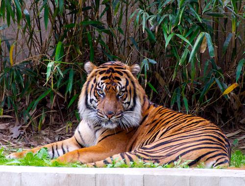 Tiger blog size 2
