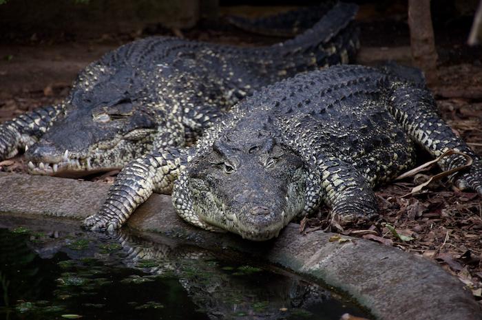 Alligator winking