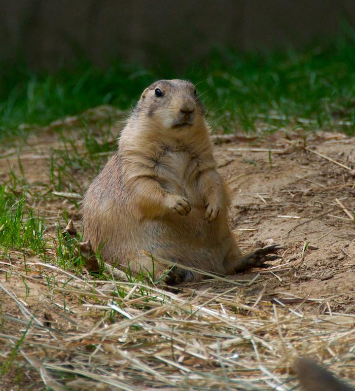 Prairie dog 9
