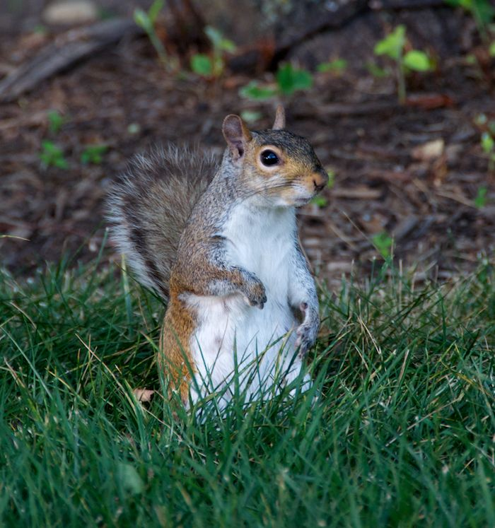 Washington dc squirrel