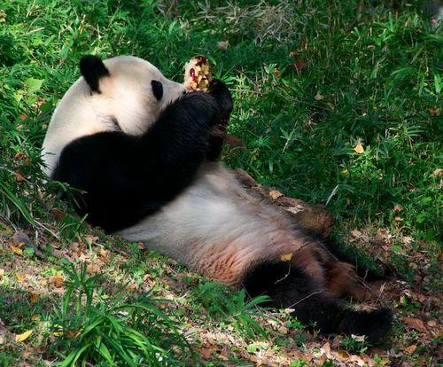 Panda washington dc zoo 2
