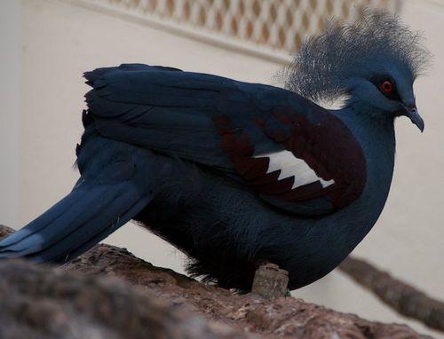 Victoria crowned pigeon 1