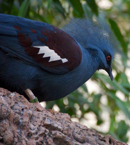 Victoria crowned pigeon 3